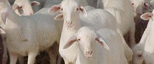Exportación corderos