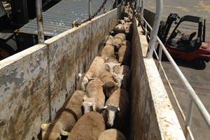 exportacion de ovejas