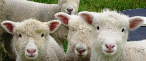 Exportacion ovejas